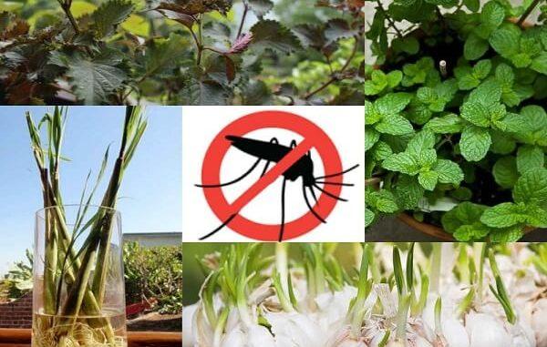 cách đuổi muỗi đơn giản